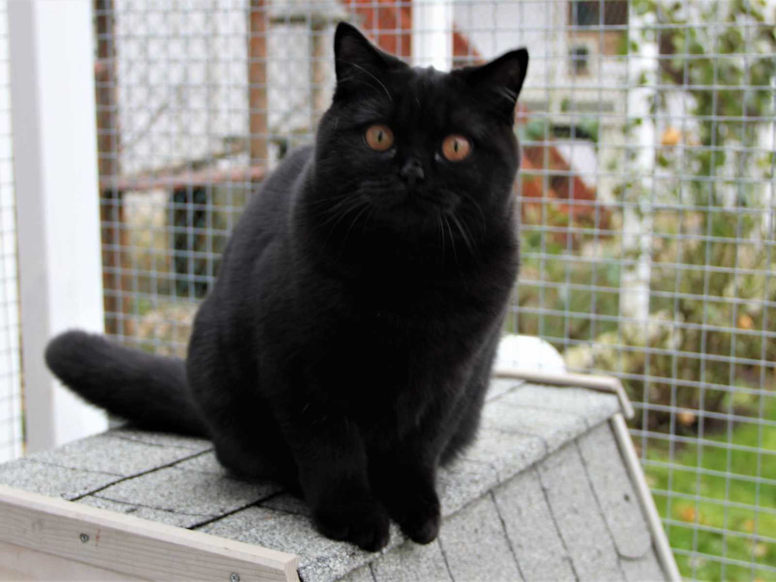 British Shorthair black girl joined our cattery