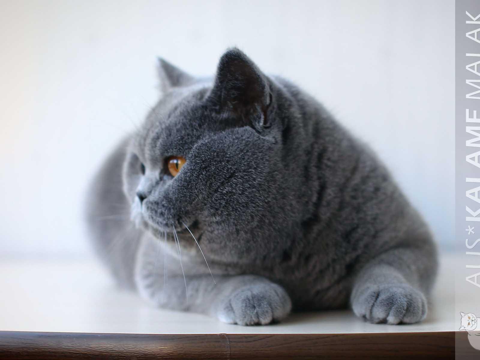Родились 3 голубые котика и 4 кошечки