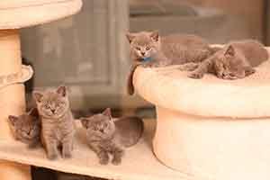 Mes turime 2 vadas - 9 mėlynus kačiukus!