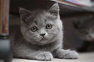 British shorthair blue kittens born