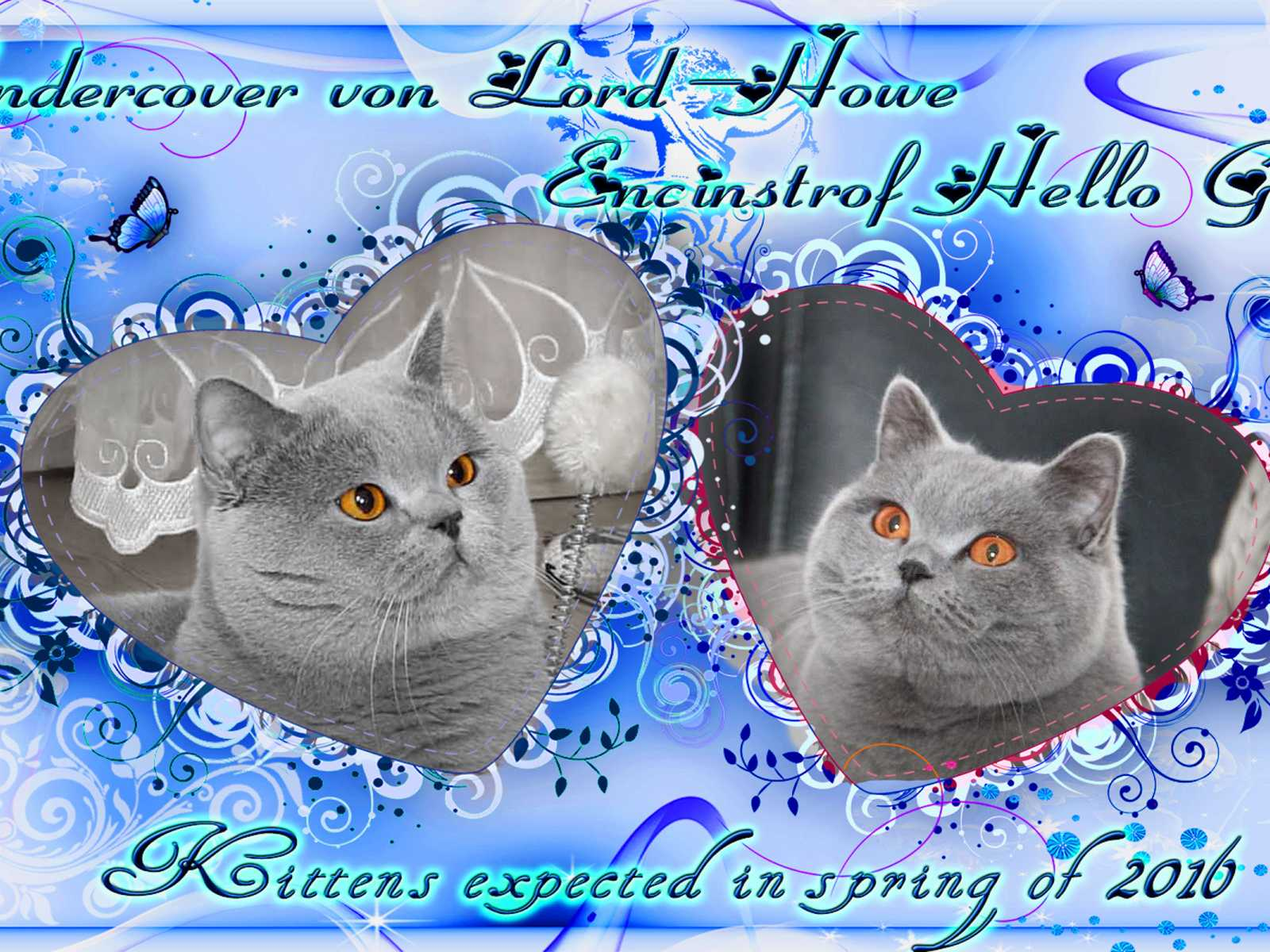 Blue British kittens planned in 2017